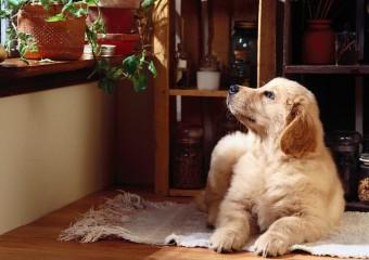 10 пород собак, идеальных для квартиры!