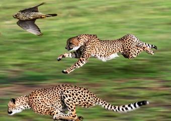 Самые быстрые животные на земле, в воде и воздухе
