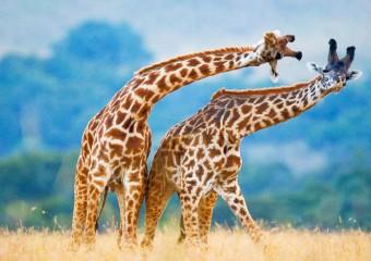 10 удивительных фактов о жирафах